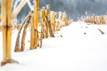 Cut corn stalks on a snow-covered field
