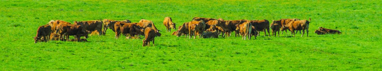 Panorama einer Wiese mit saftigem Gras und weidenden Kühen - Panorama of a meadow with lush grass and grazing cows