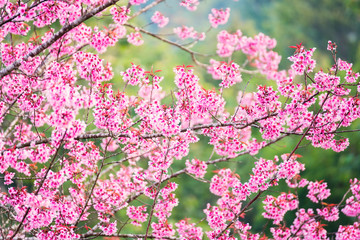 Beautiful pink cherry blossom soft focus.Vivid color of Cherry Blossom or pink Sakura flower flowering once a year at Pu lom lo Thailand.