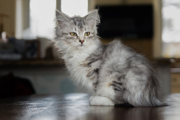 adorable Siberian kitten indoors