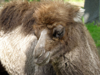 Baby camel face