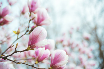 Magnolia blooming tree on branch over blurred natural background.