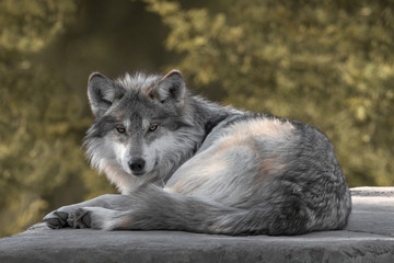 Photo sur Plexiglas Loup Mexican gray wolf full body portrait laying on a rock in the woods during autumn