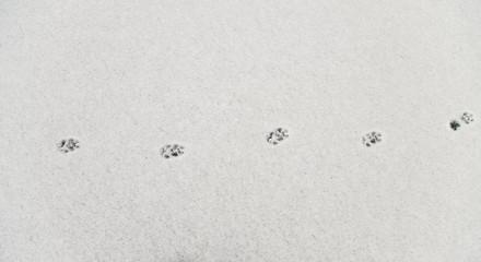 Fresh fox footprints in snow