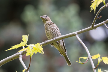 Female House Finch Perched on a Tree Branch