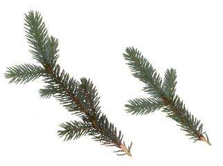 Fir branch on white background. green fir tree twig