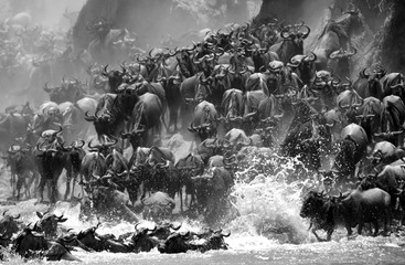 Wall Mural - The great wildebeest migration is the movement of vast numbers of the wildebeest