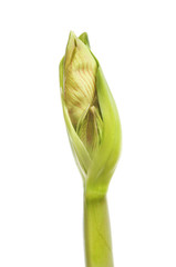 Amaryllis flowerbud isolated