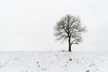 Abandoned walnut tree on snow covered meadow during winter. Slovakia