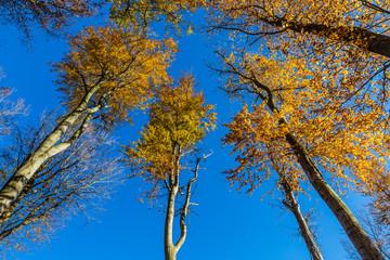 Isolated Beech Trees - Voderady Beechwood, Czechia