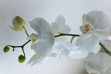 White blooming orchid on a white background