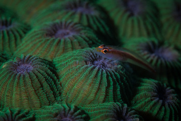 Tiny Ghost Goby on Green Coral Colony