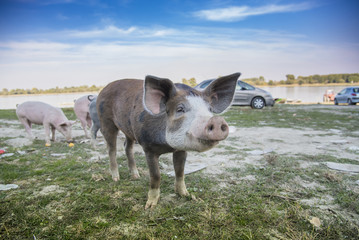 Little pig running through a grassy field and grazing the grass