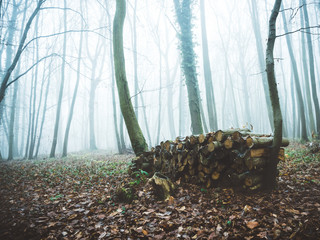 Forest in fog pruned with freshly cut wood for heating. Vexin France