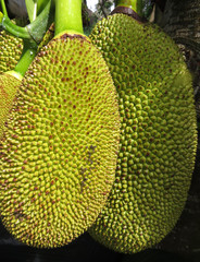 Two jackfruit on a branch