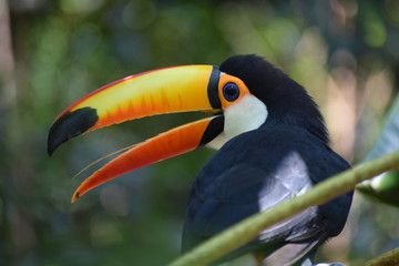 Giant toucan (Ramphastos toco) in the forest, exotic south american bird