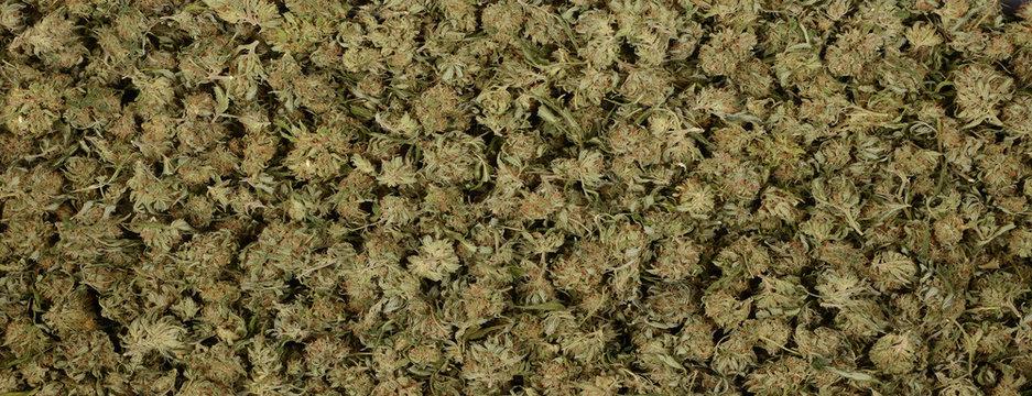 Panorama of marijuana Nuggets
