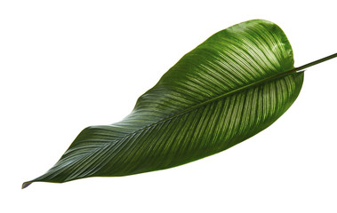 Calathea ornata (Pin-stripe Calathea) leaves, Tropical foliage isolated on white background, with clipping path Wall mural