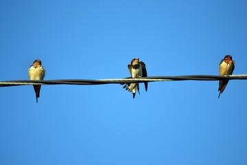 three barn swallows on a wire
