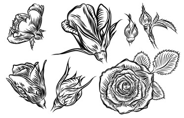 Flower rose set isolated on white background. Floral and buds with leaves collection. Vector.