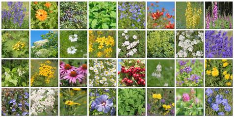 Heilpflanzen, Heilkräuter, Collage