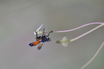 The Sirex wasp (Sirex noctilio) is a species of wasp native to Europe, Asia and northern Africa