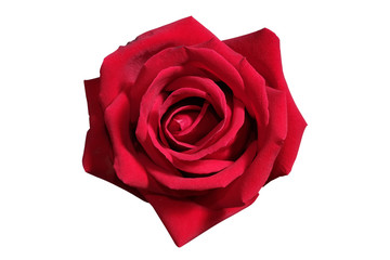 Natural red rose isolate on white background