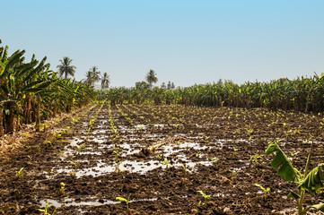 Coconut palm plantation