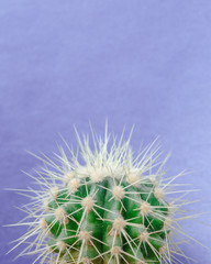 Cactus close up on the purple background