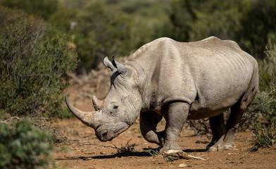Photo sur Plexiglas Rhino Black Rhino in natural environment