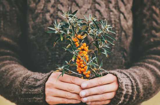 Woman hands holding sea buckthorn  berries organic food Healthy Lifestyle plant fresh picked cozy knitted sweater