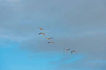 Geese flying in a blue cloudy sky in winter