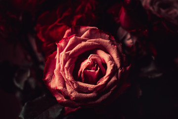 Close-up of a vintage Gothic scarlet rose