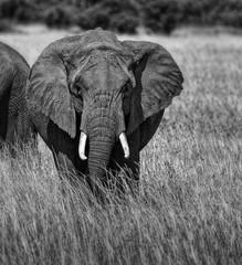 ELEPHANT D'AFRIQUE MONOCHROME
