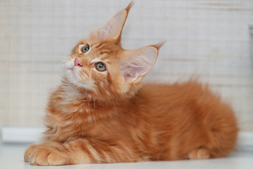Red kitten Maine Coon on light background
