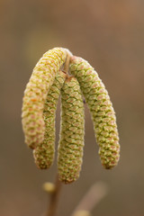 Amentum, Lamb  walnut flowers, spring scene on spring background.