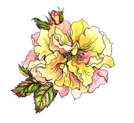 Yellow rose with bud and leaves, hand drawing on white background. Rose yellow floribunda, watercolor illustration with a contour.