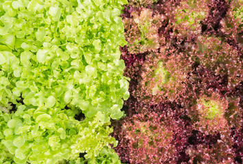 Red Leaf Lettuce or Red Coral and Green Oak Lettuce for Diet Health