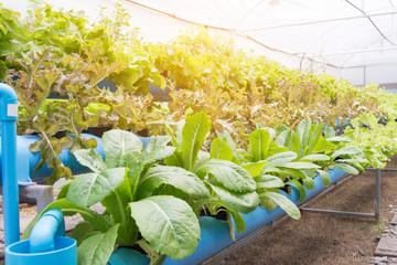 Organic hydroponic vegetable cultivation farm