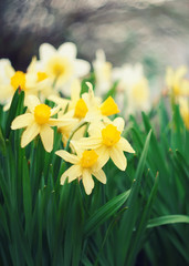 Foto op Canvas Narcis First spring flowers, white and yellow daffodils.