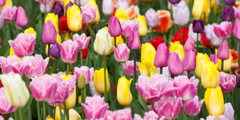 beautiful multi-colored tulips form a bright carpet in a flower bed or in a field