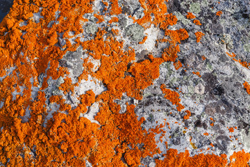 stone covered with bright orange lichen closeup