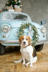 Beagle puppy in front of retro car with christmas tree
