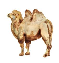 Watercolor bactrian camel