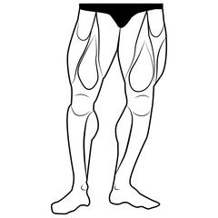 Vector image lower body man. The muscles of the legs. White background