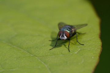 Fliege (Brachycera)