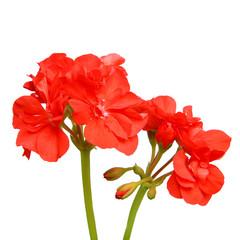 Géranium zonal rouge