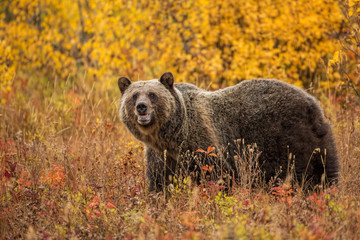 Grizzly Bear in Fall Foliage