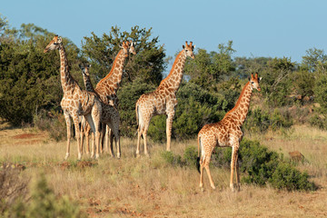 Small herd of giraffes (Giraffa camelopardalis) in natural habitat, South Africa.