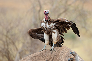 A lappet-faced vulture (Torgos, tracheliotus) scavenging on a dead elephant, Kruger National Park, South Africa.